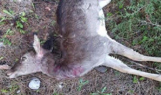 Με 5.000 ευρώ επικήρυξαν τον παρανοϊκό που σκοτώνει τα ελάφια στη Ρόδο