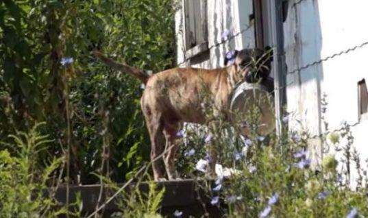 Θα κλάψετε: Αδέσποτος σκύλος ζητιανεύει για λίγο φαΐ από πόρτα σε πόρτα, κρατώντας το πιατάκι του στο στόμα! (ΒΙΝΤΕΟ)