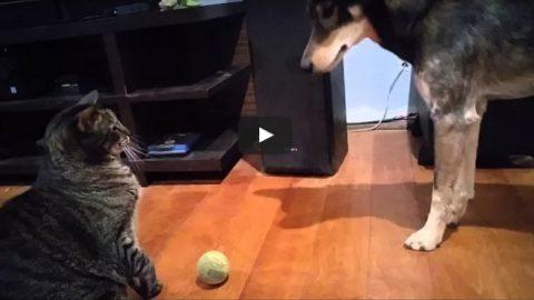 Γάτα από την… κόλαση: Κάνει bullying σε σκύλο και δεν του δίνει το μπαλάκι του! (ΒΙΝΤΕΟ)