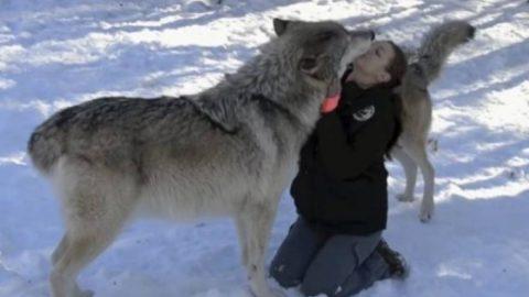 Δεν το έχεις ξαναδεί: Τεράστιοι λύκοι κάνουν σαν κουτάβια και δίνουν φιλιά (ΒΙΝΤΕΟ)
