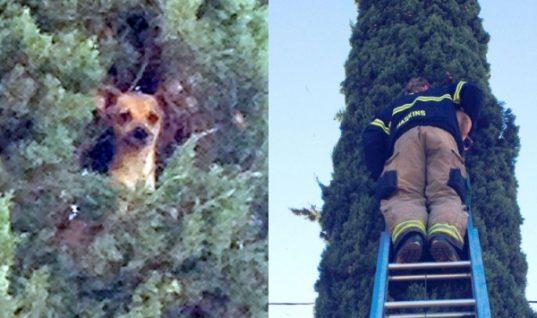 Τρόμος για το μικροσκοπικό τσιουάουα: Σκαρφάλωσε σε δέντρο 25 μέτρων και έμεινε εκεί! (ΕΙΚΟΝΕΣ)