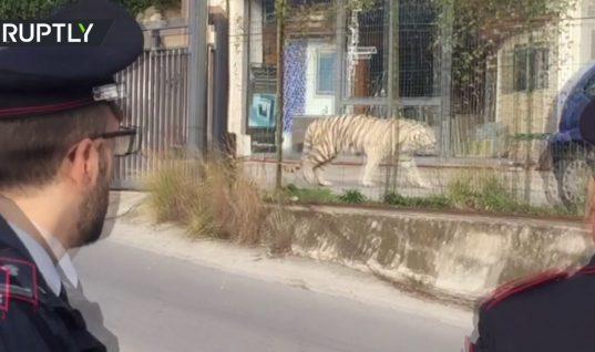Πανικός στο Παλέρμο: Λευκή τίγρη της Σιβηρίας «το έσκασε» από τσίρκο και έκοβε βόλτες στη Σικελία! (vid)