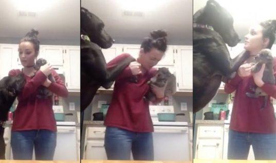 Ο τεράστιος σκύλος βλέπει για πρώτη φορά την ιδιοκτήτριά του αγκαλιά με ένα μικρό κουτάβι. Η αντίδρασή του έχει ρίξει το Ίντερνετ!