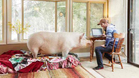 Πήγαινε για κατοικίδιο και κατέληξε με τεράστιο γουρούνι! (εικόνες)
