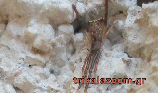 Τρίκαλα: Βρέθηκε αράχνη που μοιάζει με το φίδι Κόμπρα!(εικόνες)