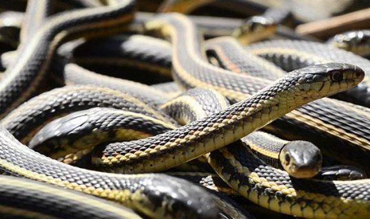 Πανικός στη Λάρισα: Φίδια γέμισε η πόλη