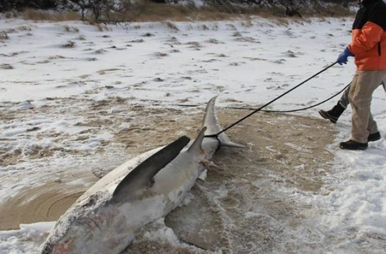Απίστευτο… Πάγωσαν μέχρι θανάτου και οι καρχαρίες στις Ηνωμένες Πολιτείες! (εικόνες)