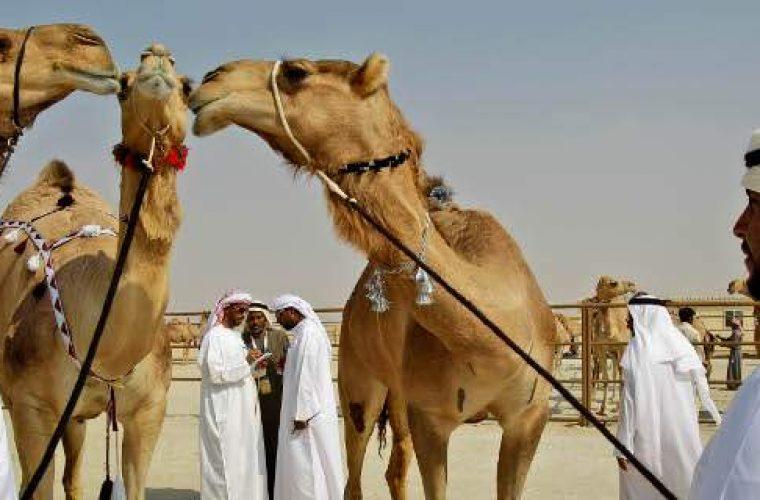 Απέκλεισαν 12 καμήλες από διαγωνισμό ομορφιάς -Επειδή… είχαν κάνει μπότοξ! (εικόνες)