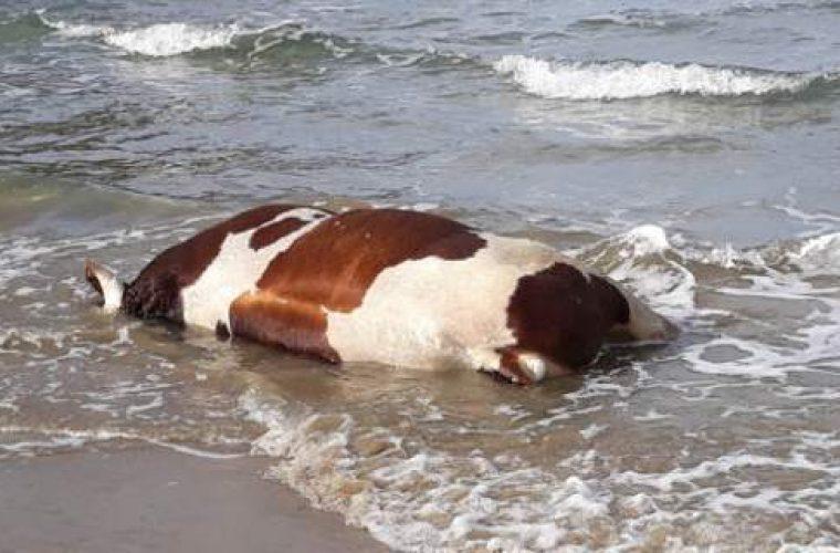 Μυστήριο με αγελάδες και ταύρους που ξεβράζει η θάλασσα σε νησιά των Κυκλάδων (εικόνες)