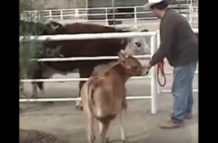 Αγελάδα δε σταματά να κλαίει από όταν την χώρισαν από το μωρό της – Δείτε την αντίδρασή της όταν επανασυνδέονται