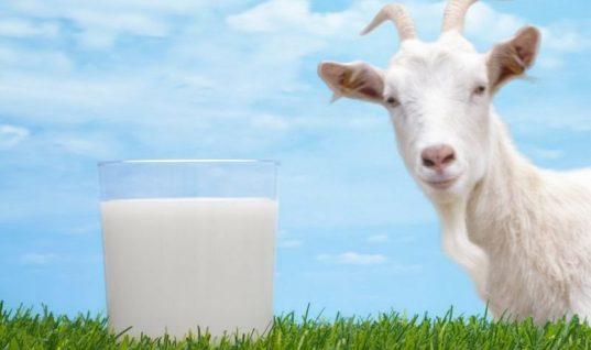 Κατσικίσιο γάλα: ένας «θησαυρός» από τα παλιά!