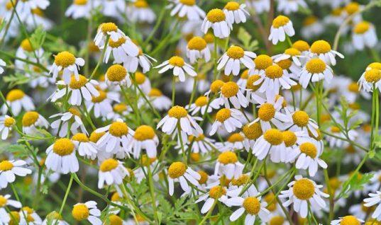 Το λουλούδι που μπορεί να νικήσει τον καρκίνο