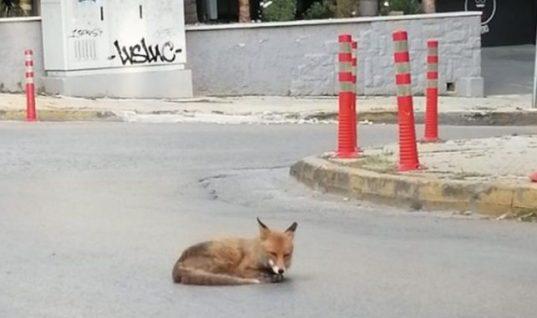 Απίστευτη εικόνα στην Αγία Παρασκευή: Αλεπού λιάζεται στη μέση του δρόμου! (φωτό & βίντεο)